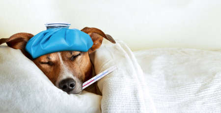 Foto de jack russell dog sleeping in bed with high fever temperature ice bag on head thermometer in mouth covered by a blanket - Imagen libre de derechos