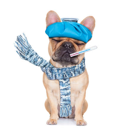 Foto de french bulldog dog  with  headache and hangover with ice bag or ice pack on headthermometer in mouth with high fever eyes closed suffering  isolated on white background - Imagen libre de derechos