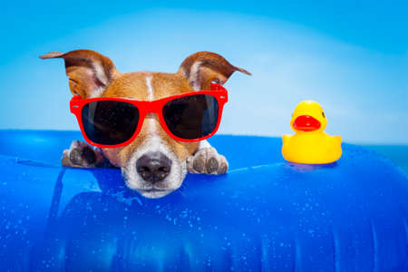 Photo pour jack russell  dog  on a mattress in the ocean water at the beach, enjoying summer vacation holidays, wearing red sunglasses  with yellow     plastic rubber duck - image libre de droit