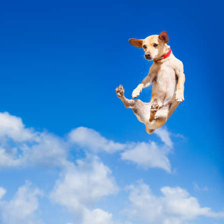 Foto de chihuahua dog flying and jumping in the air , blue sky as backdrop, funny and crazy face - Imagen libre de derechos