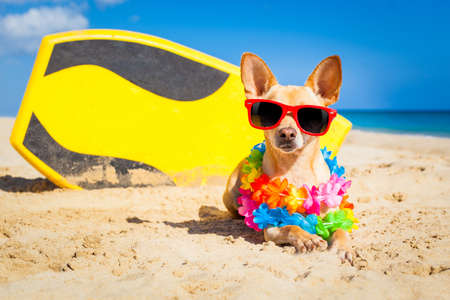 Photo pour chihuahua dog  at the beach with a surfboard wearing sunglasses and flower chain on summer vacation holidays  at the beach - image libre de droit