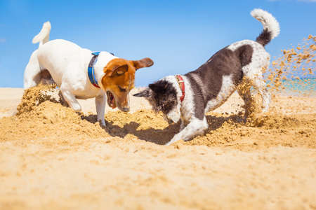 Foto de jack russell couple of dogs digging a hole in the sand at the beach on summer holiday vacation, ocean shore behind - Imagen libre de derechos