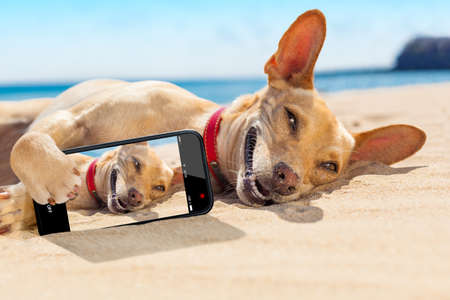 Foto de chihuahua dog  relaxing and resting , lying on the sand at the beach on summer vacation holidays,while taking a selfie for friends - Imagen libre de derechos