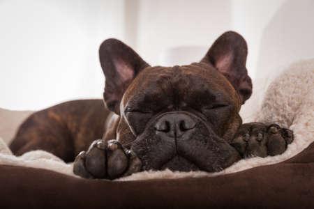 Foto de french bulldog dog having a sleeping and  relaxing a siesta in living room - Imagen libre de derechos
