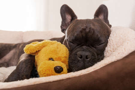 Photo pour french bulldog dog having a sleeping and  relaxing a siesta in living room, with doggy teddy bear - image libre de droit