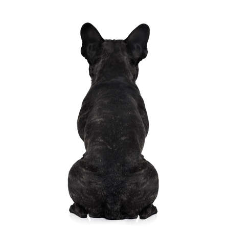 Foto de french bulldog dog looking straight, from behind showing back and  rear torso , while sitting , isolated on white background - Imagen libre de derechos