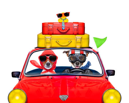 Photo pour couple of jack russell just married dogs driving a car for summer vacation holidays or honeymoon , isolated on white background, stack of luggage or bags on top - image libre de droit