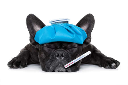 Photo for french bulldog dog very sick with ice pack or bag on head, eyes closed and suffering , thermometer in mouth , isolated on white background - Royalty Free Image