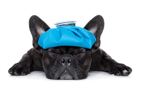 Foto de french bulldog dog very sick with ice pack or bag on head, eyes closed and suffering isolated on white background - Imagen libre de derechos