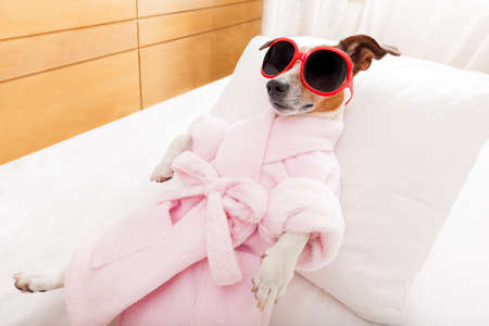 Photo pour jack russell dog relaxing  and lying, in   spa wellness center ,wearing a  bathrobe and funny sunglasses - image libre de droit