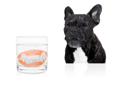 french bulldog dog  with false  set  of prosthetic teeth , cleaning in a glass of water