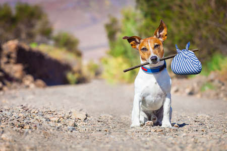 Foto de jack russell dog abandoned and left all alone on the road or street, with luggage bag  , begging to come home to owners, - Imagen libre de derechos