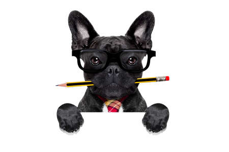 Photo for office businessman french bulldog dog with pen or pencil in mouth behind a  blank white banner or placard, isolated on white background - Royalty Free Image