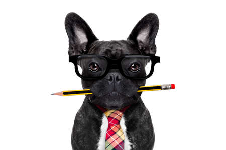 Foto de office businessman french bulldog dog with pen or pencil in mouth   isolated on white background - Imagen libre de derechos