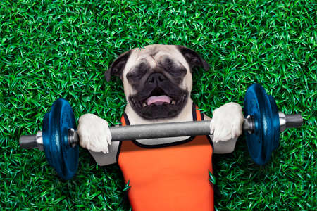 Foto de pug dog doing and exercising sport with Dumbbell bar in the park meadow lying on grass, trying very hard - Imagen libre de derechos