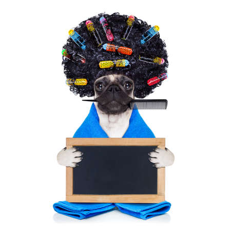Photo pour pug dog  with hair rulers  and afro curly wig  hair at the hairdresser ,holding a blank empty placard or blackboard, isolated on white background - image libre de droit