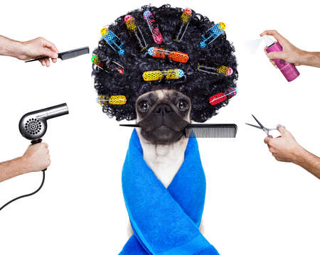 Photo pour pug dog  with hair rulers  and afro curly wig  hair at the hairdresser ,isolated on white background - image libre de droit