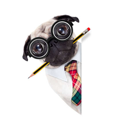 Foto de dumb crazy pug dog with nerd glasses as an office business worker with pencil in mouth ,behind empty blank banner or placard,  isolated on white background - Imagen libre de derechos