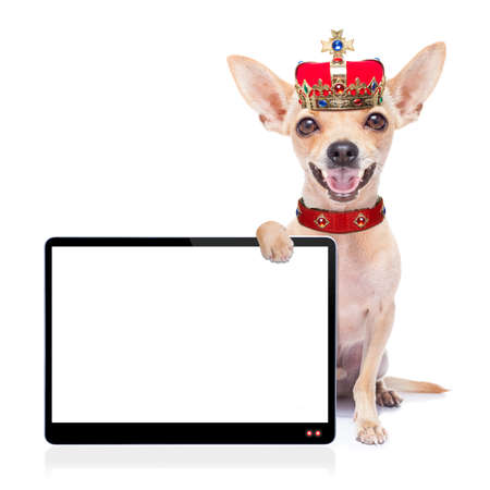 Photo pour chihuahua dog as king with crown  looking and staring  at you ,behind laptop pc tablet computer screen , isolated on white background - image libre de droit