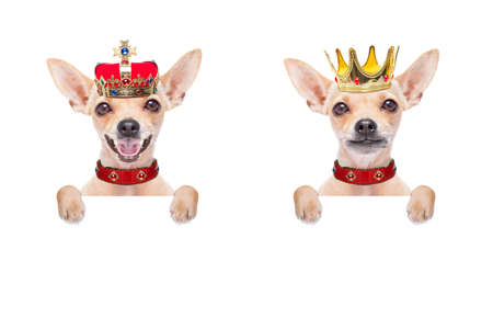 chihuahua couple of  dogs as king with crown  looking and staring  at you ,behind blank blackboard , placard or banner,isolated on white background