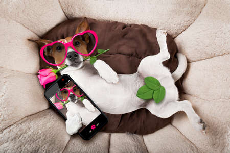 Foto de jack russell  dog looking and staring at you   ,while lying on bed with valentines rose in mouth, taking a selfie , in love - Imagen libre de derechos