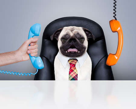 Photo pour office businessman pug  dog  as  boss and chef , busy and burnout , sitting on leather chair and desk, telephones hanging around - image libre de droit