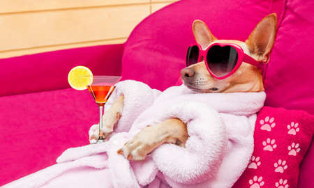 Foto de chihuahua dog relaxing  and lying, in   spa wellness center ,wearing a  bathrobe and funny sunglasses , martini cocktail included - Imagen libre de derechos