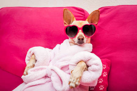 Photo pour chihuahua dog relaxing  and lying, in   spa wellness center ,wearing a  bathrobe and funny sunglasses - image libre de droit