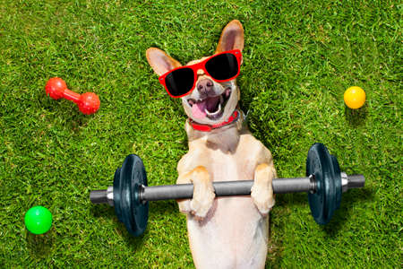 Foto de chihuahua dog doing and exercising sport with Dumbbell bar in the park meadow lying on grass, trying very hard - Imagen libre de derechos
