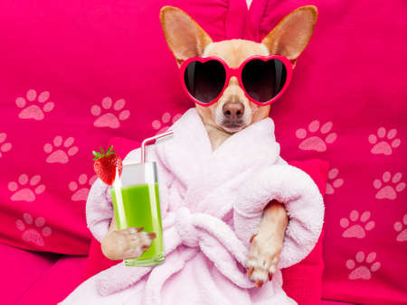Foto de chihuahua dog relaxing  and lying, in   spa wellness center ,wearing a  bathrobe and funny sunglasses drinking a  green smoothie cocktail - Imagen libre de derechos