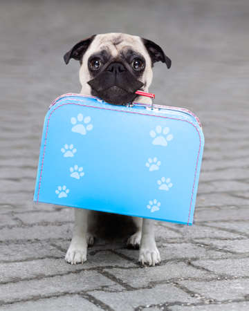 pug dog abandoned and left all alone on the road or street, with luggage bag  , begging to come home to owners