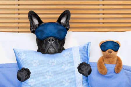 Foto de french bulldog dog  with  headache and hangover sleeping in bed, with teddy bear close together - Imagen libre de derechos
