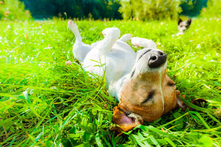 Foto de jack russell dog relaxing and resting on grass meadow at the park outdoors and outside on summer vacation holidays - Imagen libre de derechos