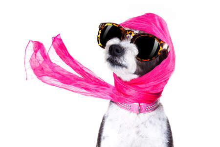 Photo pour chic fashionable diva luxury  cool dog with funny sunglasses, scarf and necklace, isolated on white background - image libre de droit