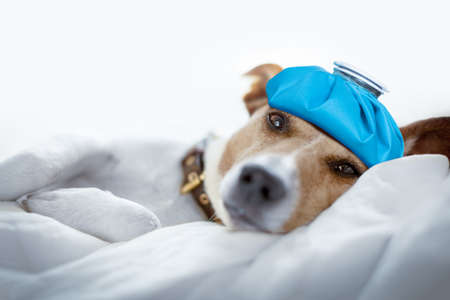 Foto de jack russell dog very sick and ill with ice pack or bag on head,  suffering, hangover and headache, resting on bed - Imagen libre de derechos