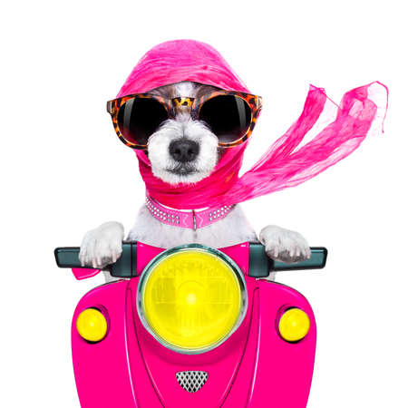 Foto de motorcycle diva lady fancy  dog driving a motorbike with sunglasses isolated on white background - Imagen libre de derechos