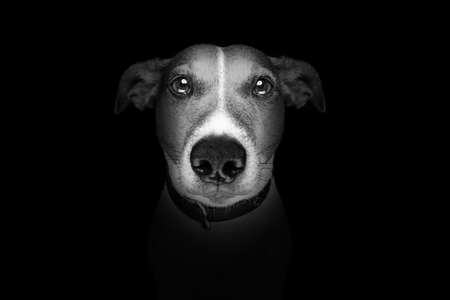 Foto de jack russell terrier dog isolated on black dark background looking at you frontal, isolated - Imagen libre de derechos