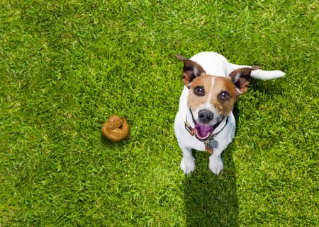 Photo pour jack russell dog guilty for the poop or shit on grass and meadow in park outdoors - image libre de droit