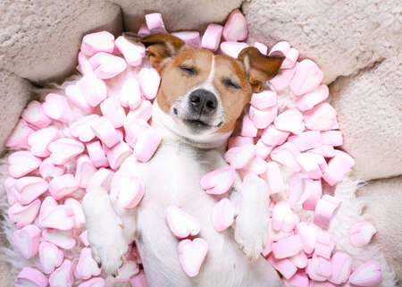 Foto de Jack russell  dog sleeping while lying on bed   in love, marshmallows as a background - Imagen libre de derechos