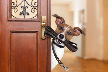 Photo pour Jack russell  dog  waiting a the door at home with leather leash in mouth , ready to go for a walk with his owner - image libre de droit