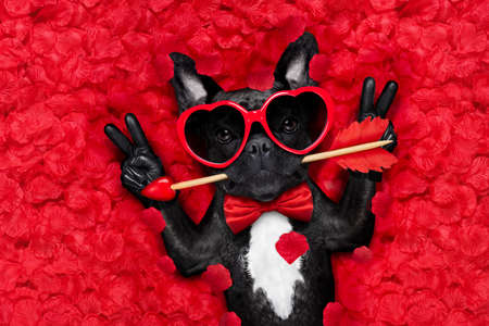Foto de french bulldog dog lying in bed full of red rose flower petals as background  , in love on valentines day , with arrow in mouth and peace or victory fingers - Imagen libre de derechos