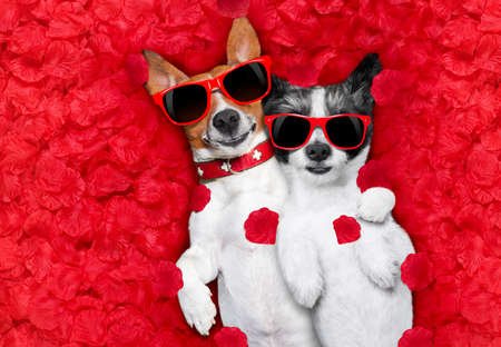 Foto de couple of two  dogs lying in bed full of red rose flower petals as background  , in love on valentines day, cuddle and embracing a hug - Imagen libre de derechos