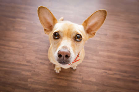 Photo pour chihuahua dog waiting and looking up for owner to play  and go for a walk   , isolated on floor background - image libre de droit