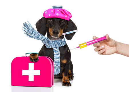 Foto de sick and ill dachshund sausage dog  isolated on white background with ice pack or bag on the head, with thermometer and syringe vaccine - Imagen libre de derechos