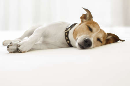 Foto de jack russell dog  sleeping on the blanket in bed in   bedroom, ill ,sick or tired, eyes closed - Imagen libre de derechos