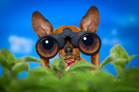 Foto de dachshund or sausage dog   binoculars searching, looking and observing with care, behind bushes - Imagen libre de derechos