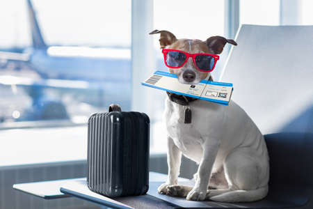 Photo pour holiday vacation jack russell dog waiting in airport terminal ready to board the airplane or plane at the gate, luggage or bag to the side - image libre de droit