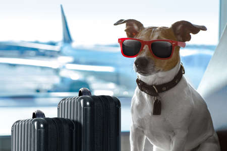 Foto de holiday vacation jack russell dog waiting in airport terminal ready to board the airplane or plane at the gate, luggage or bag to the side - Imagen libre de derechos