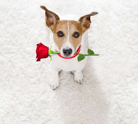 Photo pour Jack Russel dog in love for happy valentines day with petals and rose flower in mouth  , looking up in wide angle - image libre de droit