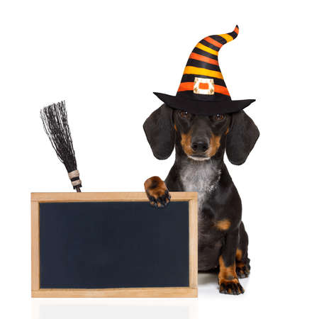 Photo for halloween devil sausage dachshund  scared and frightened, isolated on white background, wearing a witch hat, behind white blank banner or blackboard - Royalty Free Image